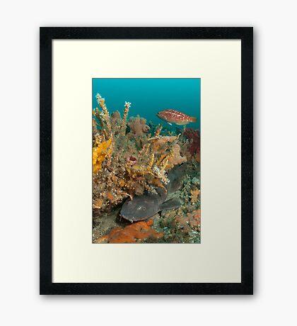 Blind Shark, Australia Framed Print