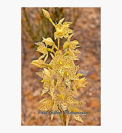 Freckled Sun Orchid - Thelymitra sargentii - Western Australia Photographic Print