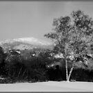 Winter Birch Before Rattlesnake by Wayne King
