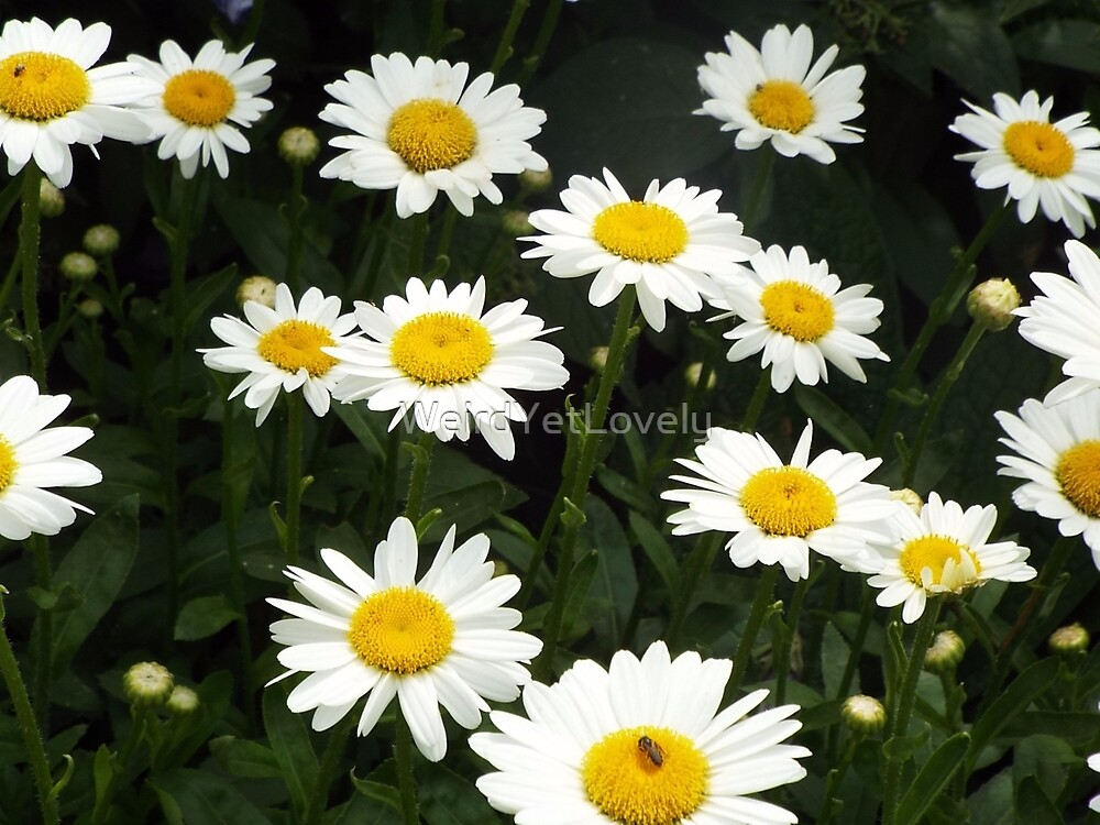 Daisy Delight  by WeirdYetLovely