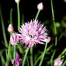 Chives by Johnny Furlotte