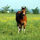 Horse in Pasture by Johnny Furlotte