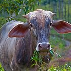 Costa Rica.  Portrait of some unknown cow. by vadim19