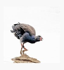 Portrait of a Purple Swamphen Photographic Print