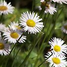 Colorado Daisies by eclectickimmer