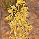 Freckled Sun Orchid - Thelymitra sargentii - Western Australia by Paul Gilbert