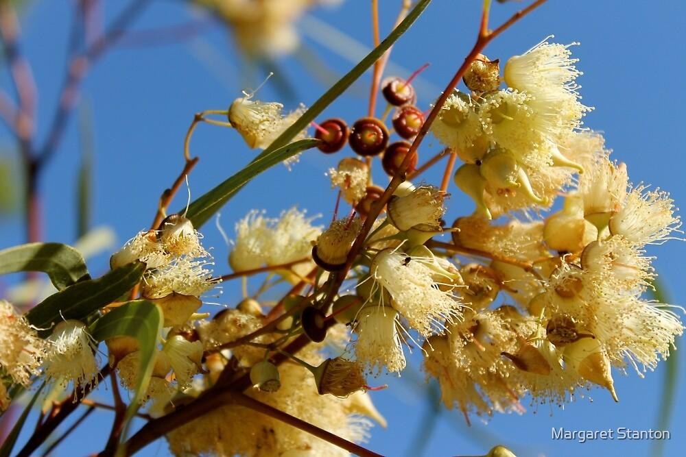 Gum Nut Blossoms  by Margaret Stanton