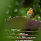Robin in the Hill Top garden by Dan Shalloe