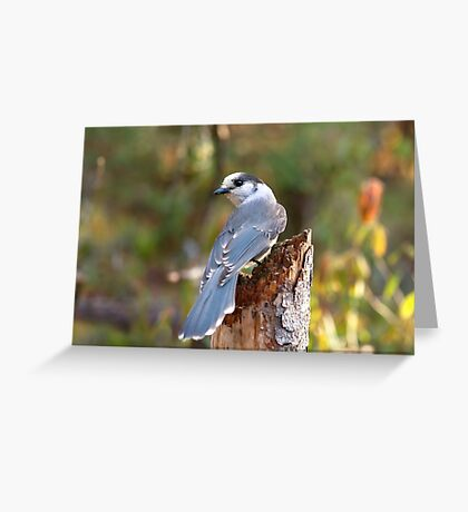 Gray Jay - Algonquin Park Greeting Card