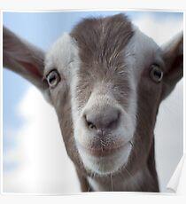 Close up Goat Poster