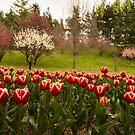 Tulip Garden by SusanAdey