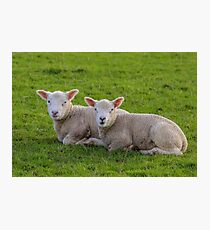 Early Lambs Photographic Print