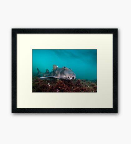 Port Jackson Shark, Montague Island, Australia Framed Print