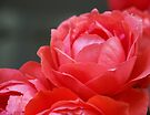 Coral Red Roses by Tiffany Dryburgh