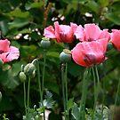 Pink Poppies by Maryna Gumenyuk
