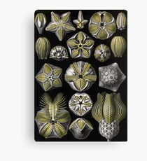 Blastoidea - Ernst Haeckel Canvas Print