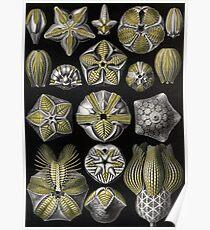 Blastoidea - Ernst Haeckel Poster