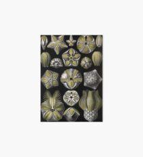 Blastoidea - Ernst Haeckel Art Board