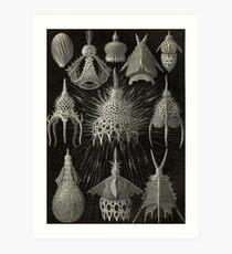 Sea anemone - Ernst Haeckel  Art Print