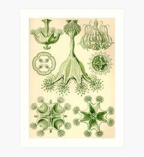 Stauromedusae - Ernst Haeckel  Art Print
