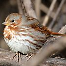 Fox Sparrow by Dennis Cheeseman