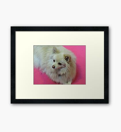 German Spitz: Hot Pink Framed Print