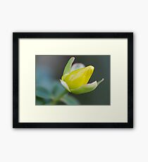 buttercup in the garden Framed Print