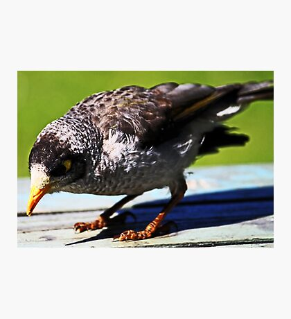 Noisy Miner Photographic Print