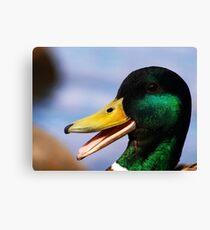 Laughing mallard duck Canvas Print