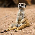 Dubbo Meerkat by mspfoto