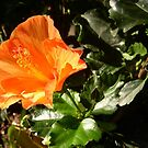 Orange Hibiscus by Betsy Ellis