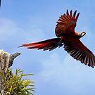 Fliegender scharlachroter Mackaw von Peggy Collins