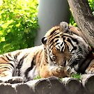 Grooming - bengali tiger by gabriellaksz