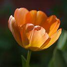 Tulip daydream by Morag Anderson