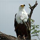 AFRIKANISCHER FISCH-EAGLE - Haliaeetus vocifer -Visarend von Magriet Meintjes