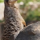 Alert Meerkat on watch by fab2can