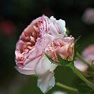 Rose Friendship by Joy Watson