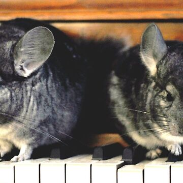 Chinchillas on the Piano by MissCellaneous