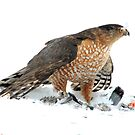 Coopers Hawk by Marija