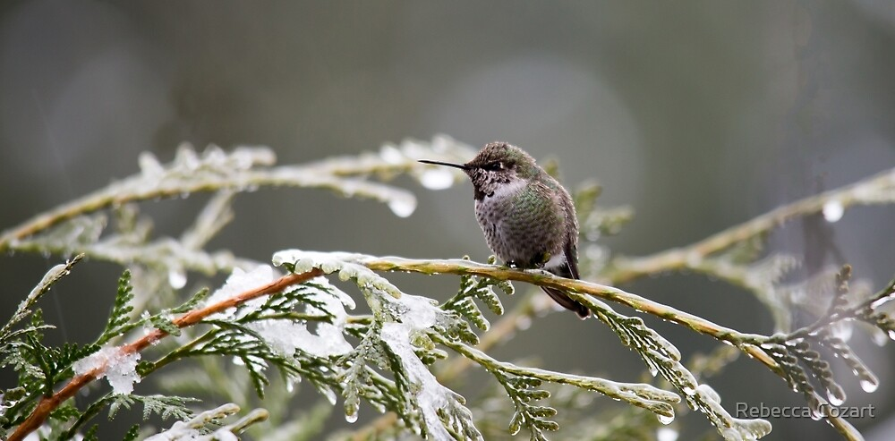 Hummer on Snowy Branch 2 by Rebecca Cozart