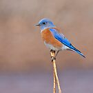 Male Western Bluebird Perched on a Stalk by Jeff Goulden
