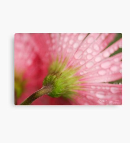 Softly Gerbera Metal Print