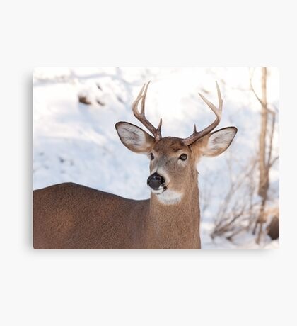 White-tailed deer buck in the winter snow Canvas Print