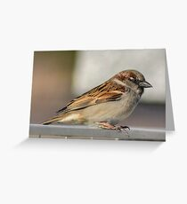 Male Sparrow Greeting Card