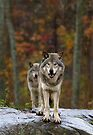 Double Trouble - Timber Wolves by Jim Cumming