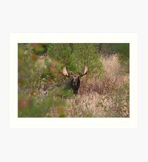 Bull Moose in Algonquin Park, Canada Art Print
