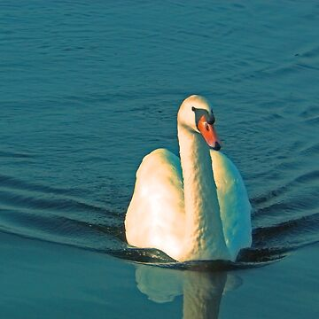 Swan Swimming 2 by ladylilith