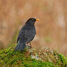 Blackbird by M.S. Photography/Art