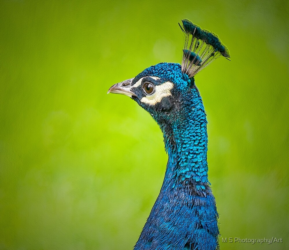 Peacock Portrait by M.S. Photography/Art