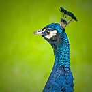 Peacock Portrait by M S Photography/Art
